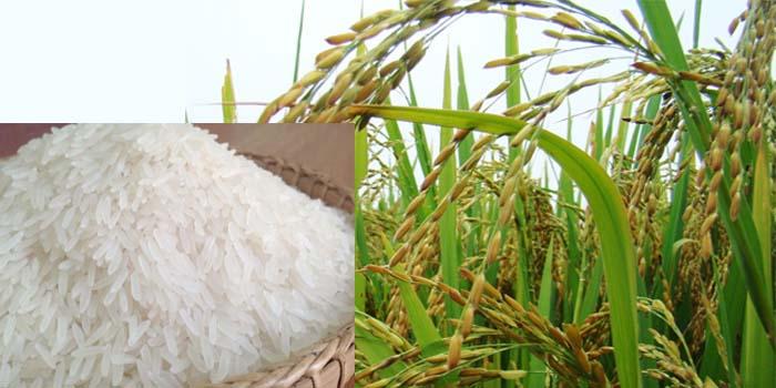 Điều gì khiến gạo lài Campuchia mê mẩn người ăn?