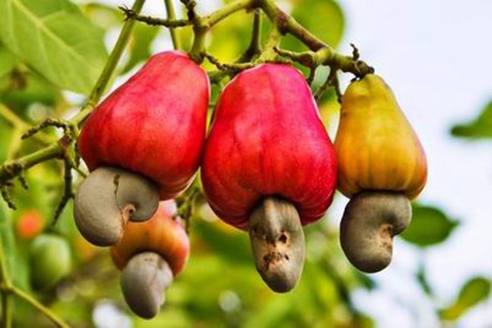 Bạn biết gì về hạt điều Việt Nam?