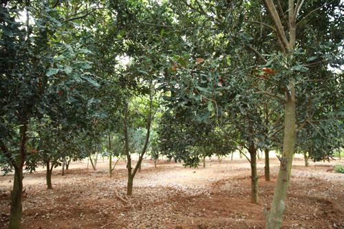 Quy trình và kỹ thuật trong trồng cây mắc ca
