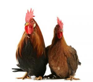 Cặp gà chín cựa xứng đôi 86